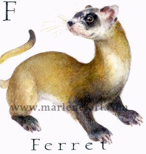 F - the sixth letter in the Animal Alphabet - is for Ferret