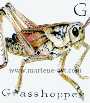 G - the seventh letter in the Animal Alphabet - is for Grasshopper
