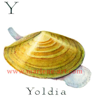 Y - the 25th  letter in the Animal Alphabet-is for Yoldia